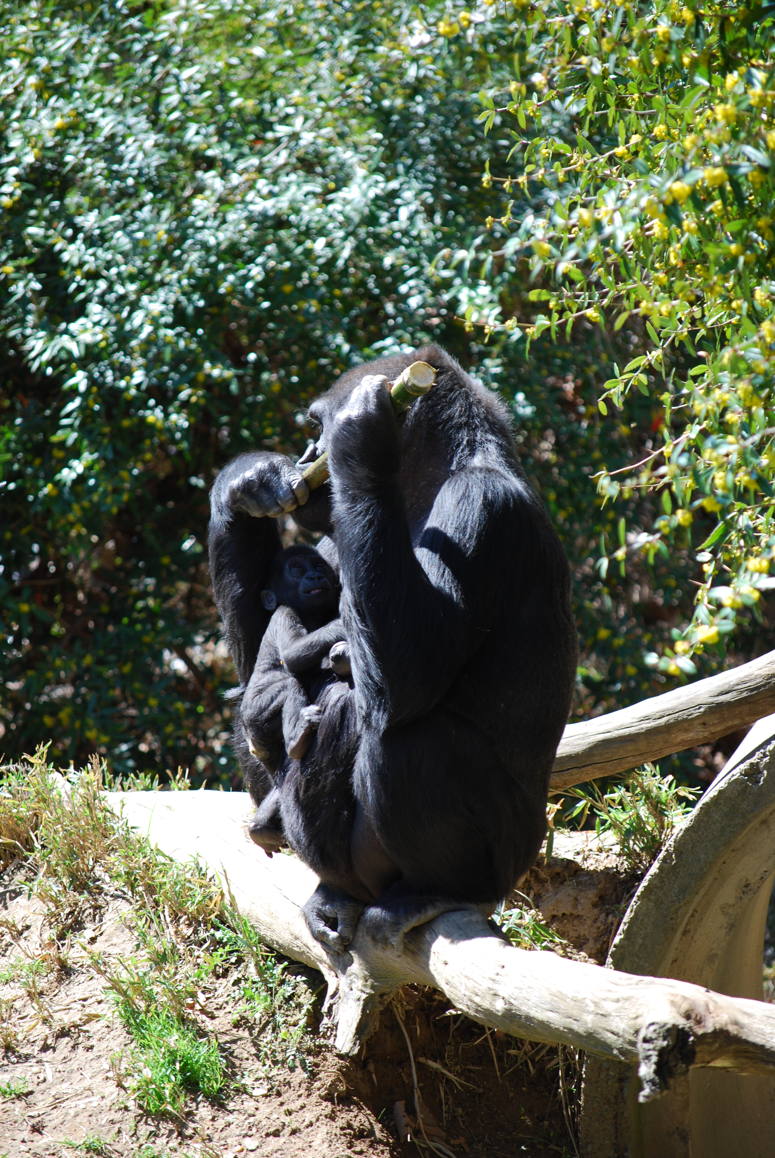 Baby & Mother Gorilla