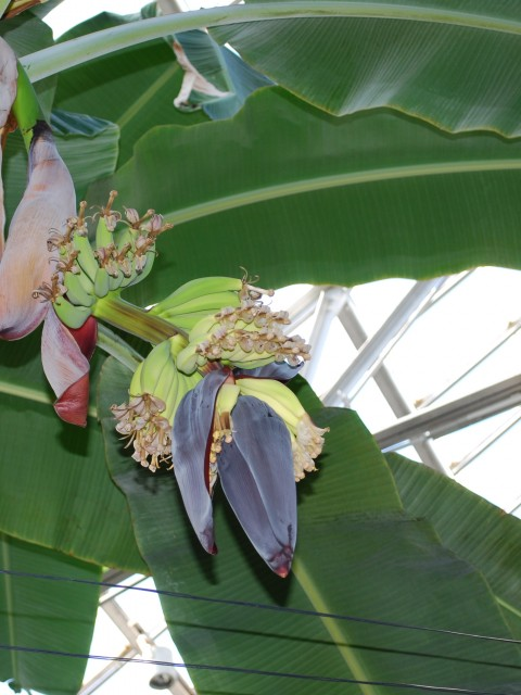 Flowering Bananas