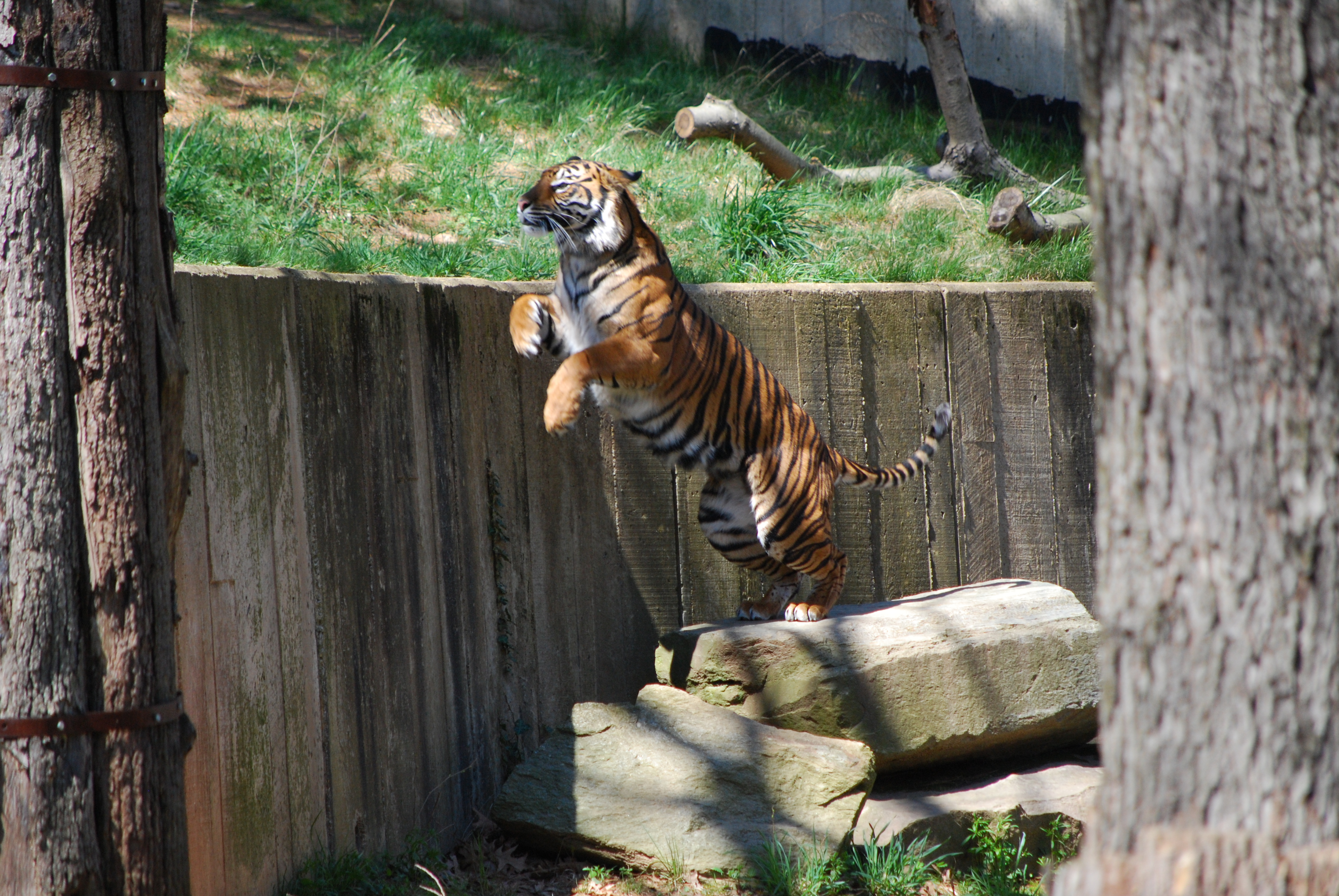 Tiger Leaps for its prey