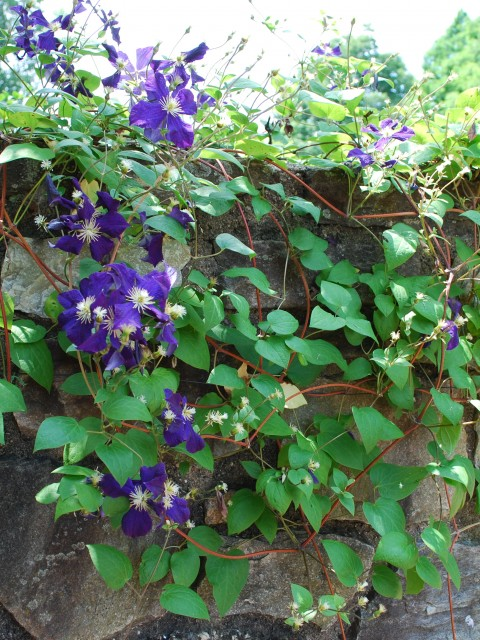 Purple Flowers on a Vine