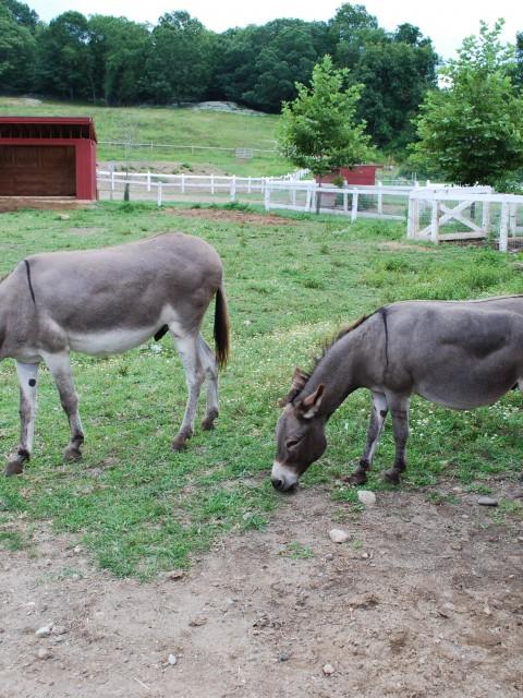 Mules Feeding