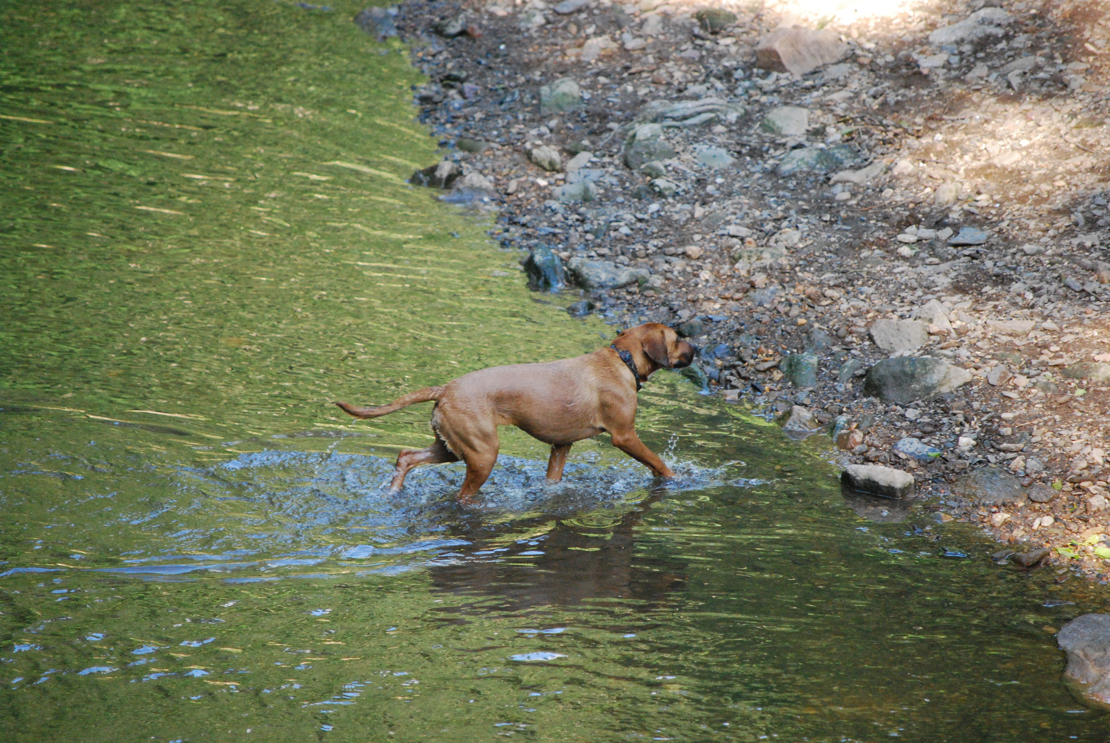 Dogs love wading in water