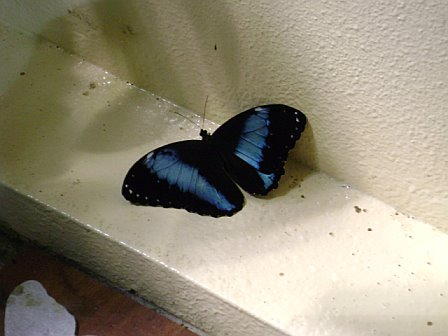 Black & blue monarch