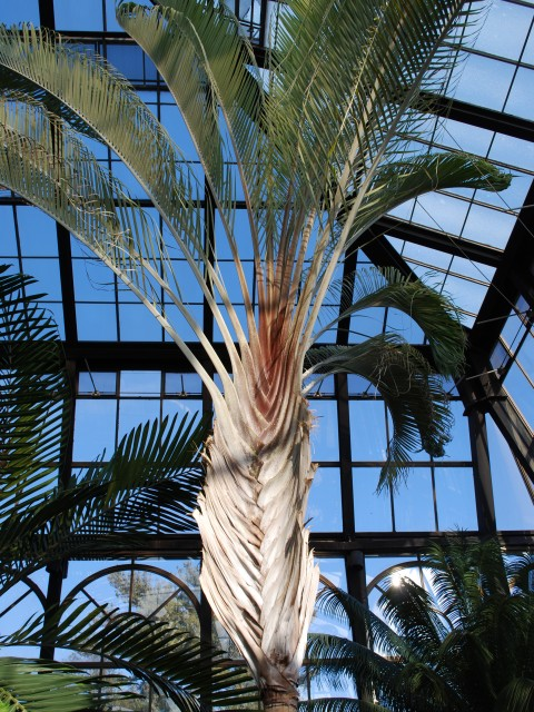 Indoor Palm Trees, Longwood Gardens Conservatory