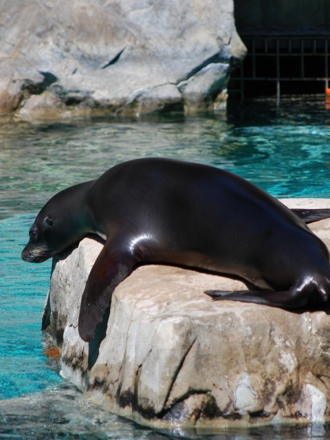 Lazy Sunbathing Seal, National Zoo