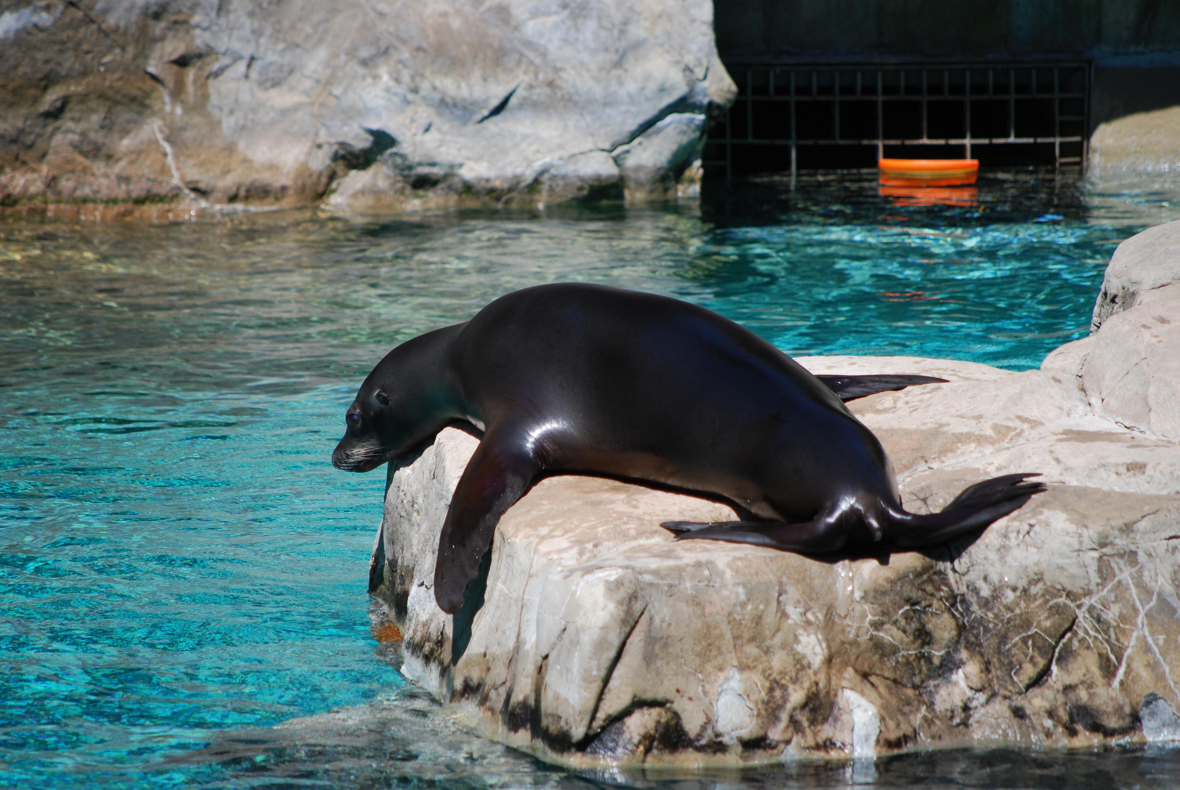 Lazy Sunbathing Seal, National Zoo