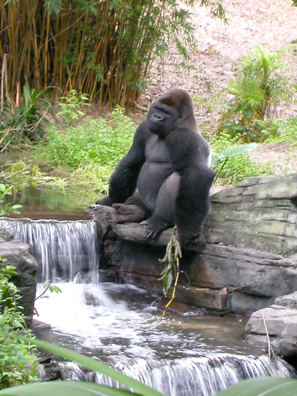 Relaxing Ape