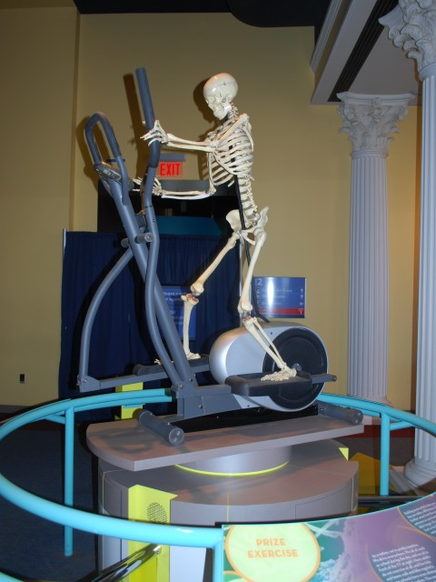 Skeletal Exercise Exhibit