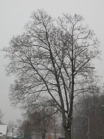 Naked Tree in Winter
